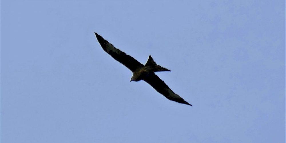 Raubvogel kreist über dem Langenberg